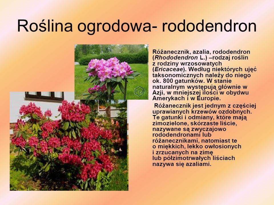 Roślina ogrodowa- rododendron Różanecznik, azalia, rododendron (Rhododendron L.) –rodzaj roślin z rodziny wrzosowatych (Ericaceae). Według niektórych