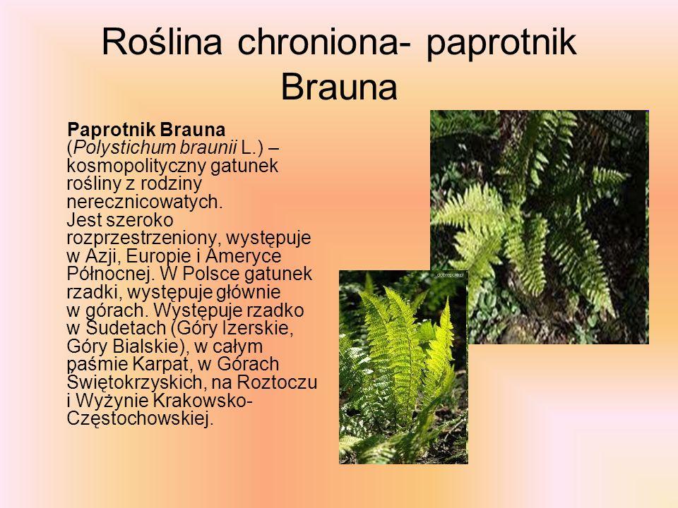 Roślina chroniona- paprotnik Brauna Paprotnik Brauna (Polystichum braunii L.) – kosmopolityczny gatunek rośliny z rodziny nerecznicowatych. Jest szero
