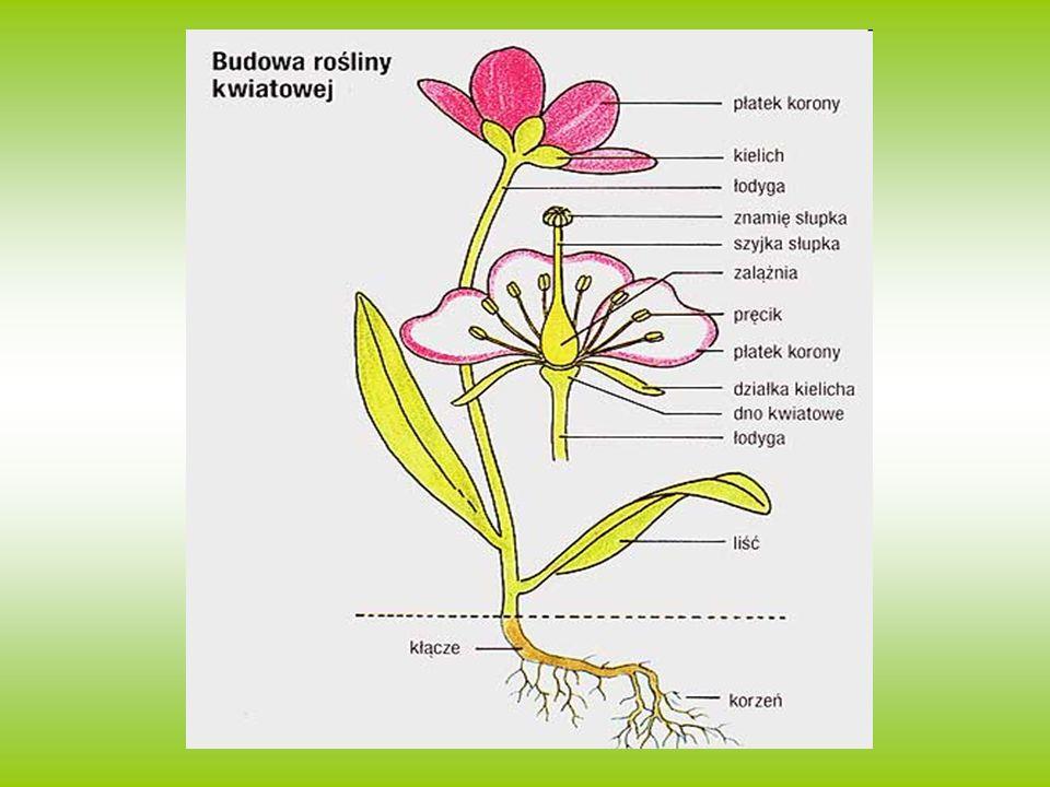 Budowa roślin- korzenie Są podziemną (bądź podwodną) częścią rośliny.