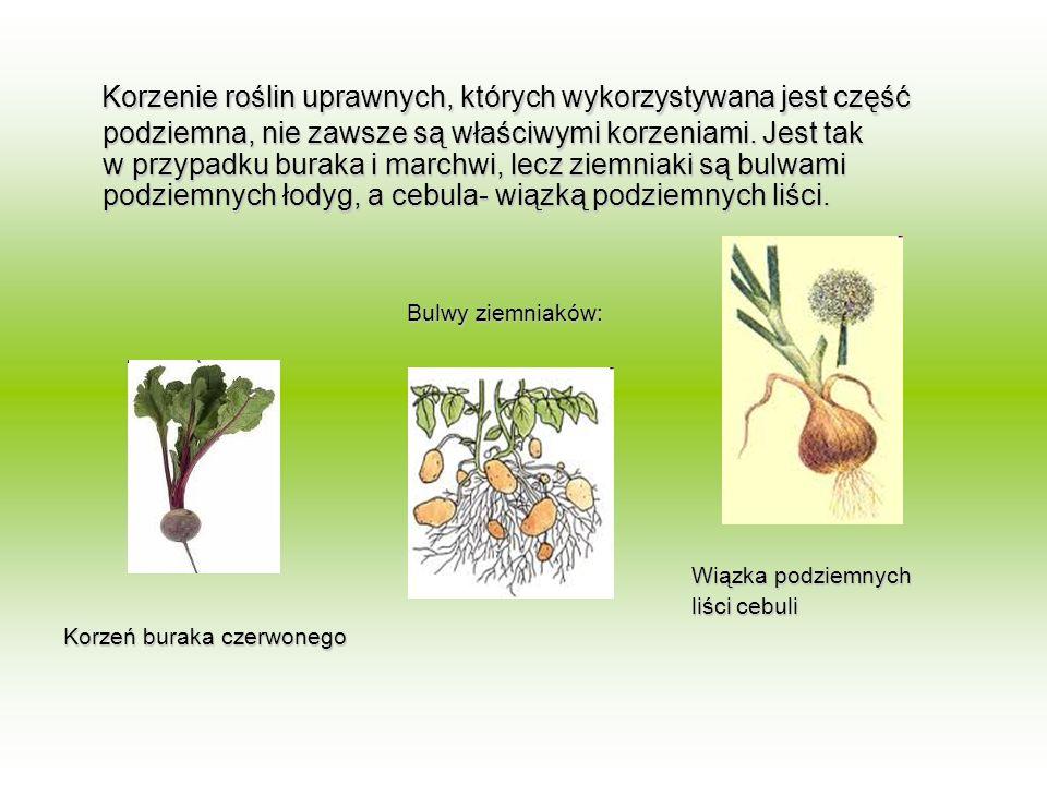 Korzenie roślin uprawnych, których wykorzystywana jest część podziemna, nie zawsze są właściwymi korzeniami. Jest tak w przypadku buraka i marchwi, le