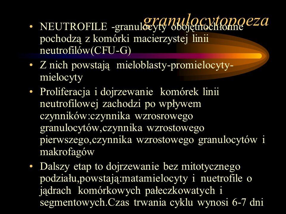 granulocytopoeza NEUTROFILE -granulocyty obojętnochłonne pochodzą z komórki macierzystej linii neutrofilów(CFU-G) Z nich powstają mieloblasty-promielo