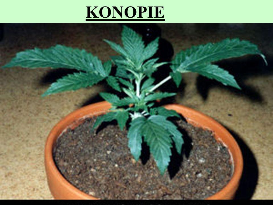 5 KONOPIE Z niektórych odmian konopii (Cannabis sativa L. konopie indyjskie) otrzymuje się produkty zawierające substancje psychoaktywne. Najważniejsz