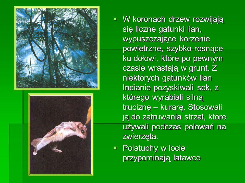 W koronach drzew rozwijają się liczne gatunki lian, wypuszczające korzenie powietrzne, szybko rosnące ku dołowi, które po pewnym czasie wrastają w gru