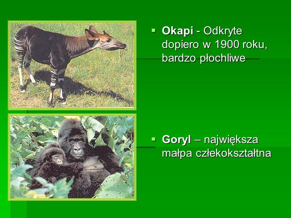 Okapi - Odkryte dopiero w 1900 roku, bardzo płochliwe Okapi - Odkryte dopiero w 1900 roku, bardzo płochliwe Goryl – największa małpa człekokształtna G
