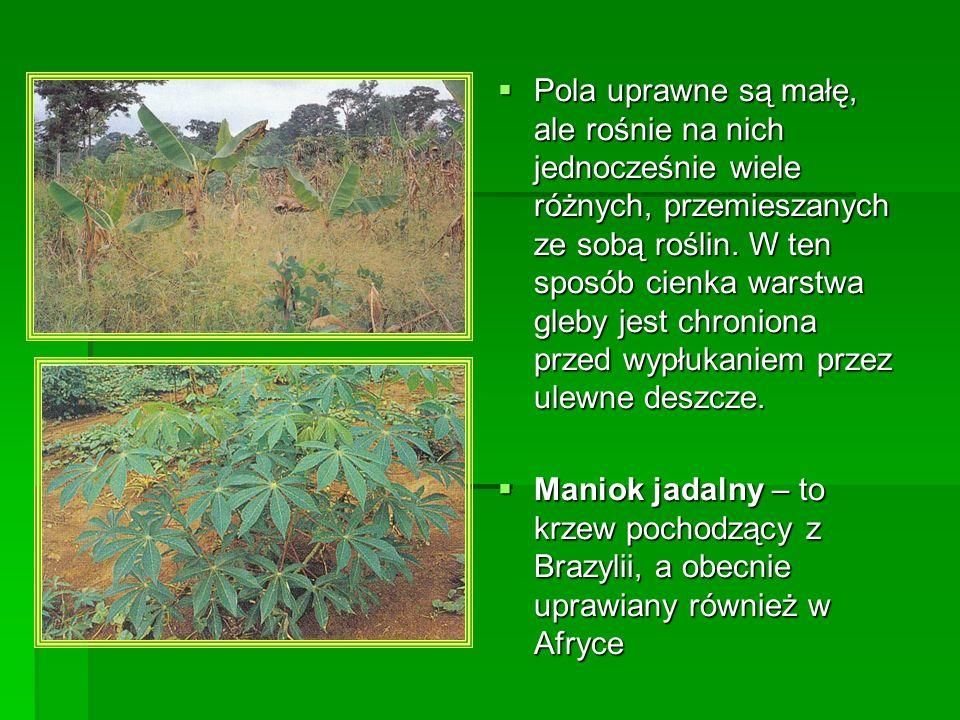 Pola uprawne są małę, ale rośnie na nich jednocześnie wiele różnych, przemieszanych ze sobą roślin. W ten sposób cienka warstwa gleby jest chroniona p