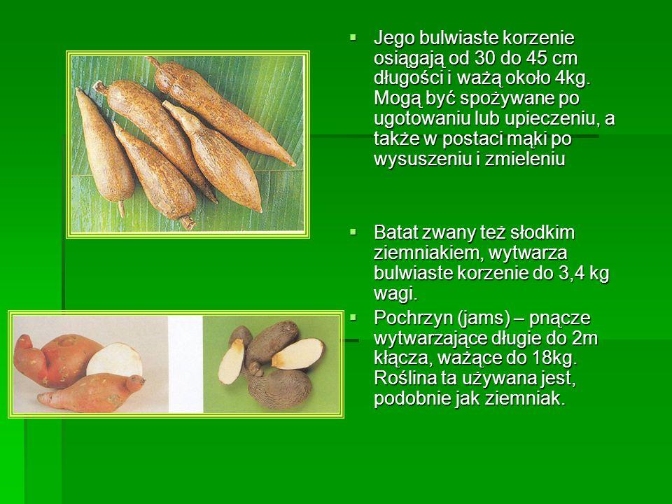 Jego bulwiaste korzenie osiągają od 30 do 45 cm długości i ważą około 4kg. Mogą być spożywane po ugotowaniu lub upieczeniu, a także w postaci mąki po