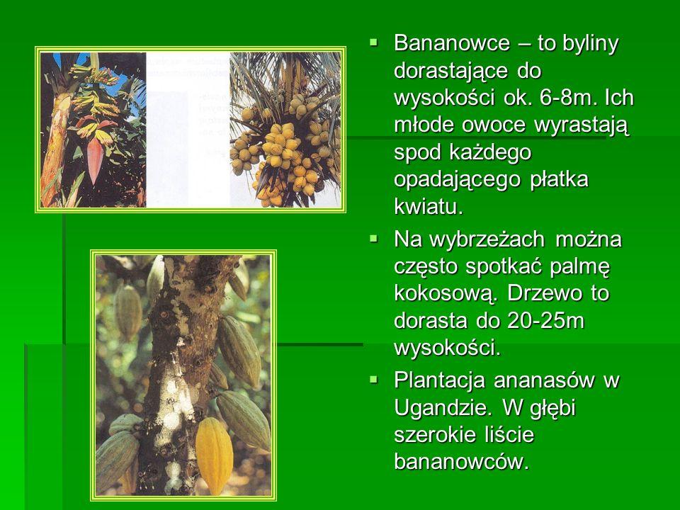 Bananowce – to byliny dorastające do wysokości ok. 6-8m. Ich młode owoce wyrastają spod każdego opadającego płatka kwiatu. Bananowce – to byliny doras