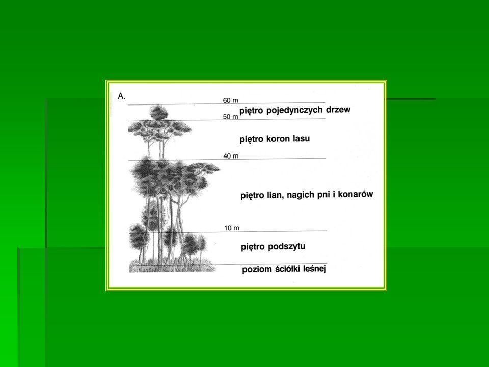 Piętro pojedynczych drzew – puchowce Piętro pojedynczych drzew – puchowce piętro koron lasu – wysokie drzewa, epifity – porośla (storczyki – inaczej orchidee),, begonie, hebanowce, mahoniowce, palmy, mchy porosty, liany piętro koron lasu – wysokie drzewa, epifity – porośla (storczyki – inaczej orchidee),, begonie, hebanowce, mahoniowce, palmy, mchy porosty, liany piętro lian, nagich pni konarów piętro lian, nagich pni konarów piętro podszytu – młode drzewa, paprocie, paprocie drzewiaste (rośliny cieniolubne) piętro podszytu – młode drzewa, paprocie, paprocie drzewiaste (rośliny cieniolubne) poziom ściółki leśnej – obumarłe liście, połamane gałęzie poziom ściółki leśnej – obumarłe liście, połamane gałęzie