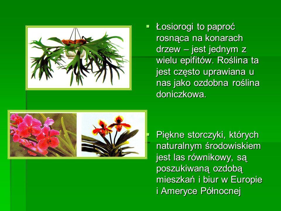 Łosiorogi to paproć rosnąca na konarach drzew – jest jednym z wielu epifitów. Roślina ta jest często uprawiana u nas jako ozdobna roślina doniczkowa.