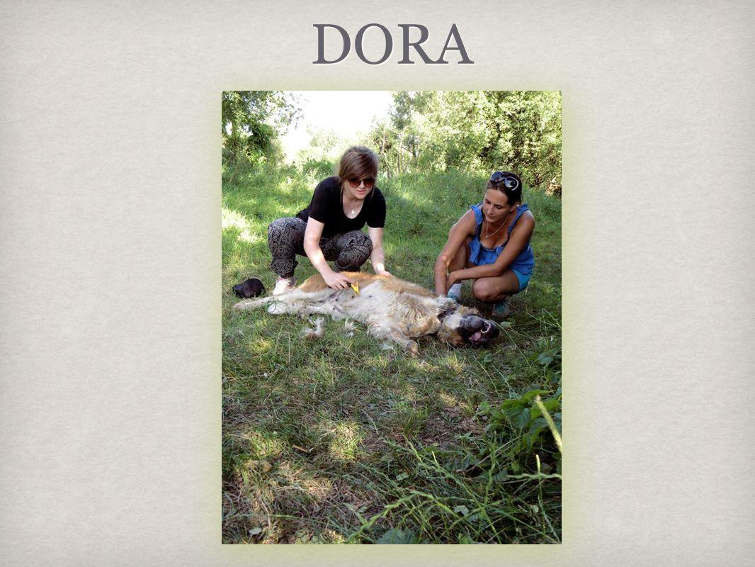 Dora to piękna suczka bernardyna, która szuka przytulnego domku.