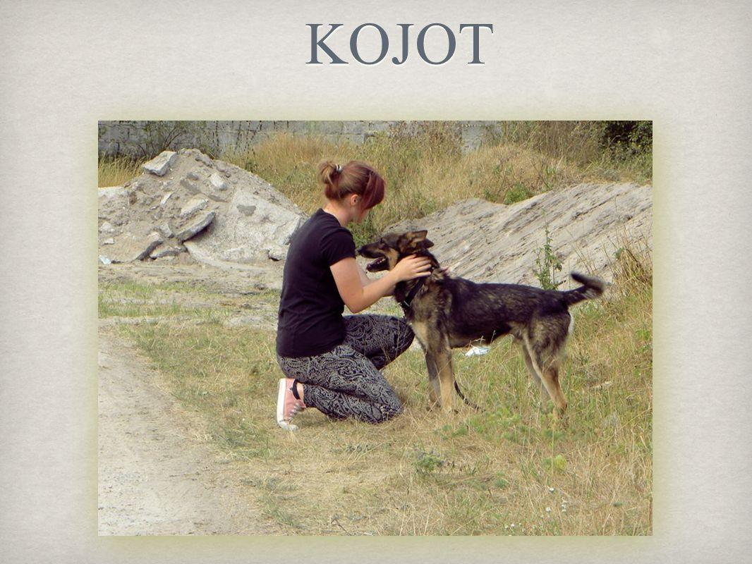Kojot to mieszaniec owczarka niemieckiego. Jest niesamowitym pieszczochem KOCHA się przytulać
