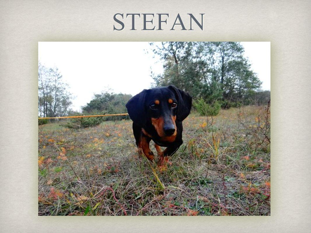 Stefan to niesforny jamnik Uwielbia tarzanie się w błocie, przez co musi być codziennie kąpany co jest dla wolontariuszy niemałym kłopotem Jest bardzo towarzyskim psem
