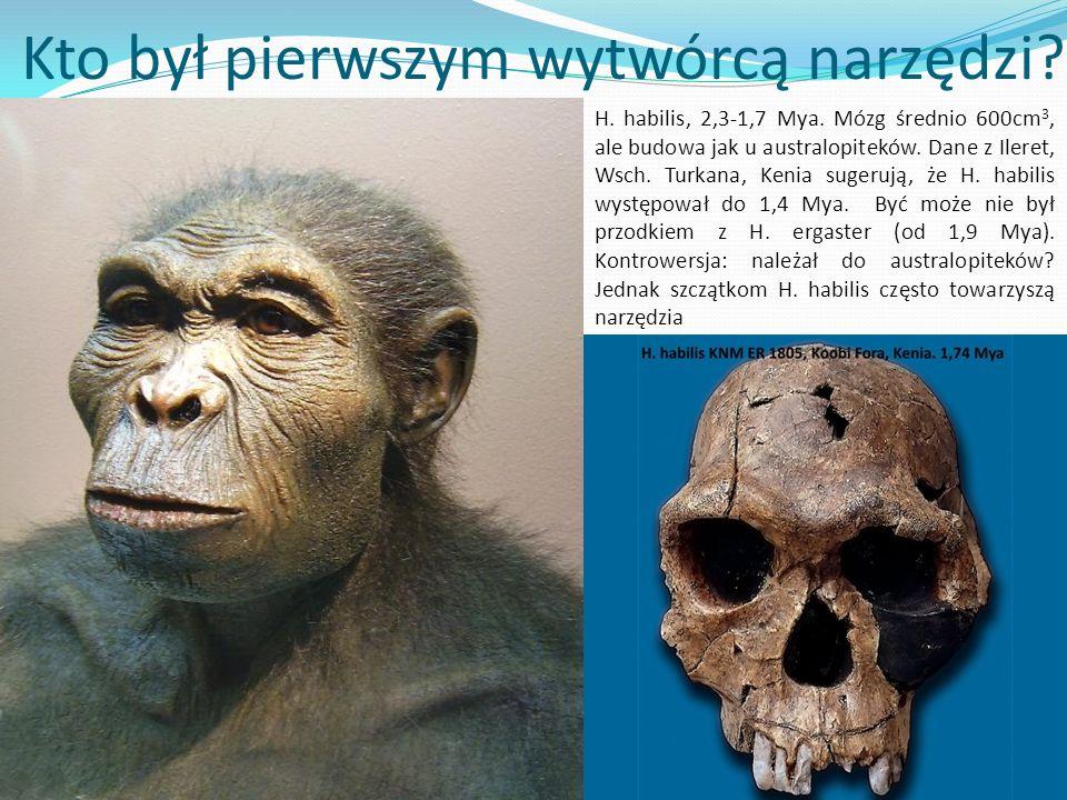 ? Kto był pierwszym wytwórcą narzędzi? H. habilis, 2,3-1,7 Mya. Mózg średnio 600cm 3, ale budowa jak u australopiteków. Dane z Ileret, Wsch. Turkana,