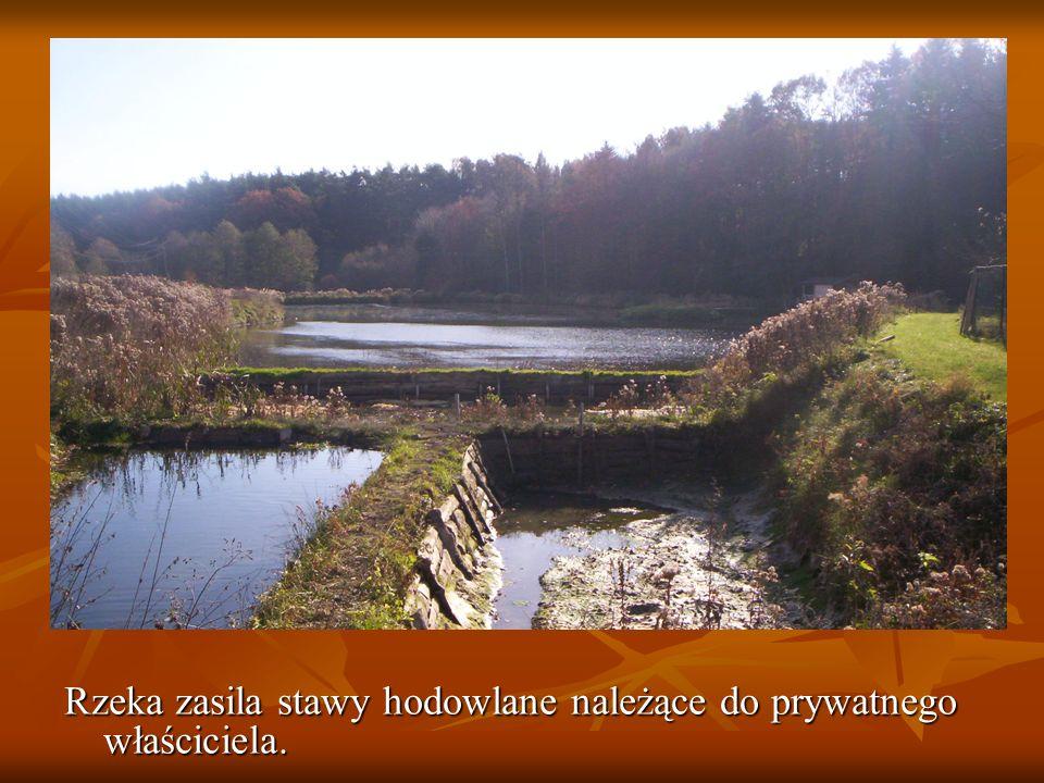 Płynąca woda podmywa także korzenie drzew rosnących przy rzece które z biegiem czasu przewracają się.