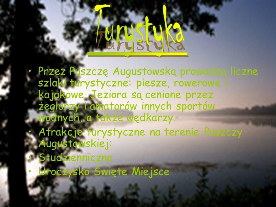 Przez Puszczę Augustowską prowadzą liczne szlaki turystyczne: piesze, rowerowe i kajakowe. Jeziora są cenione przez żeglarzy i amatorów innych sportów
