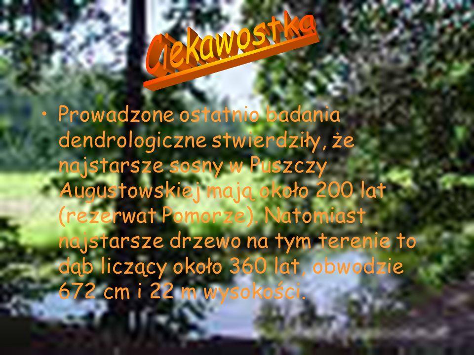 Prowadzone ostatnio badania dendrologiczne stwierdziły, że najstarsze sosny w Puszczy Augustowskiej mają około 200 lat (rezerwat Pomorze). Natomiast n