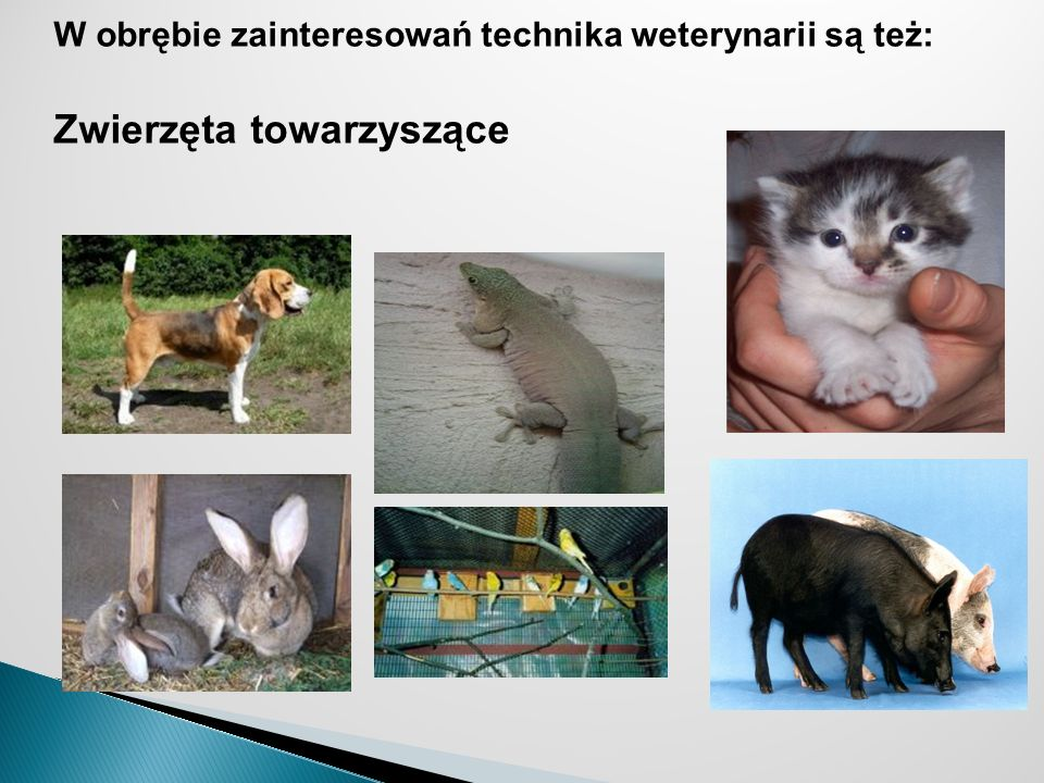 W obrębie zainteresowań technika weterynarii są też: Zwierzęta towarzyszące