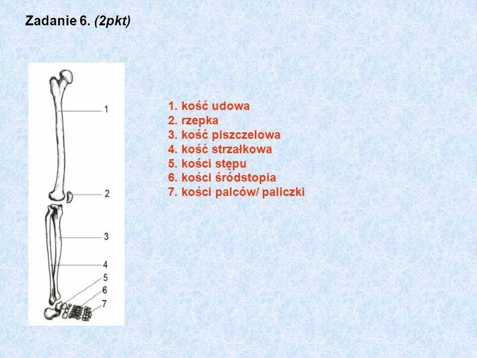 Zadanie 6. (2pkt) 1. kość udowa 2. rzepka 3. kość piszczelowa 4. kość strzałkowa 5. kości stępu 6. kości śródstopia 7. kości palców/ paliczki