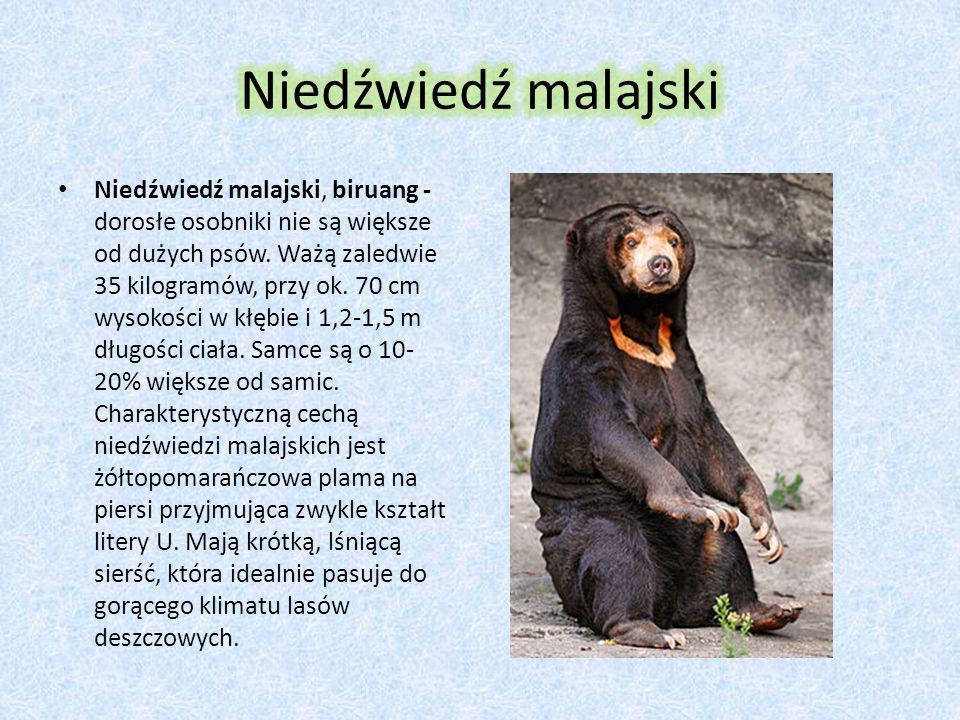 Niedźwiedź andyjski-okularowy Niedźwiedź andyjski, niedźwiedź peruwiański, niedźwiedź okularowy - długość ciała do 140 cm, wysokość do 80 cm, ciężar s