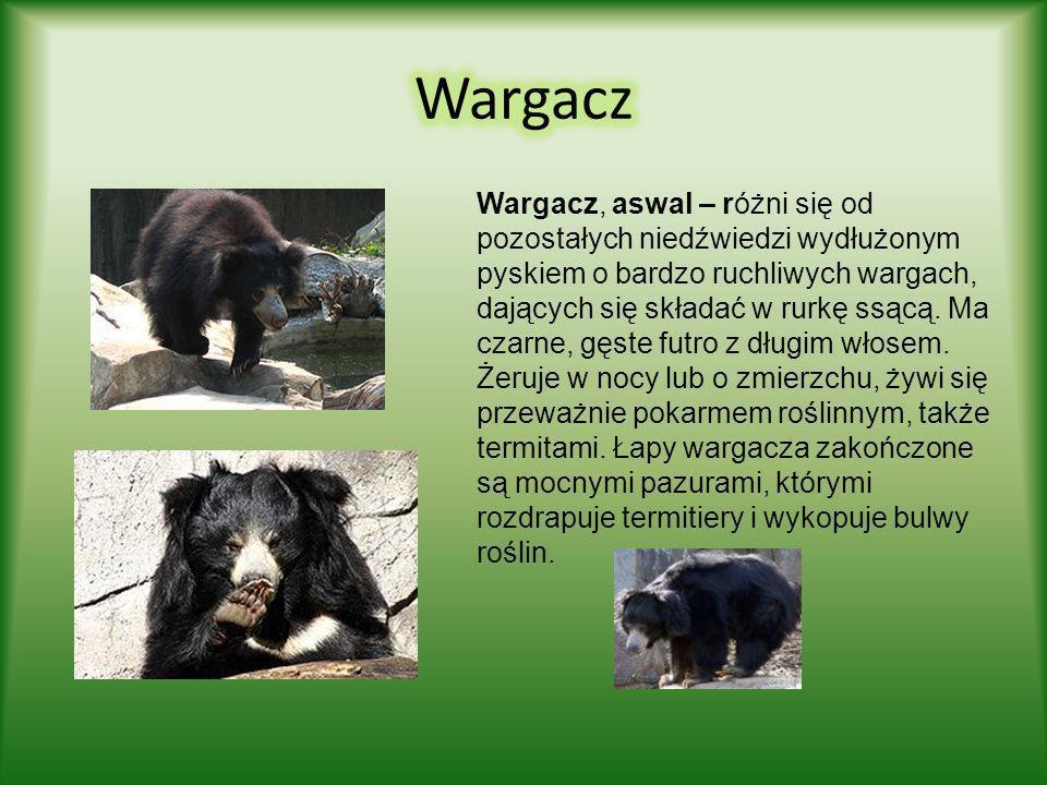Niedźwiedź malajski, biruang - dorosłe osobniki nie są większe od dużych psów. Ważą zaledwie 35 kilogramów, przy ok. 70 cm wysokości w kłębie i 1,2-1,
