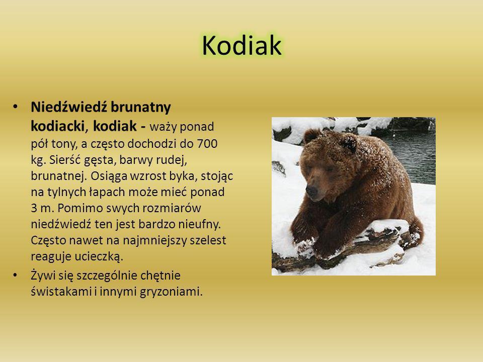 Wargacz, aswal – różni się od pozostałych niedźwiedzi wydłużonym pyskiem o bardzo ruchliwych wargach, dających się składać w rurkę ssącą. Ma czarne, g