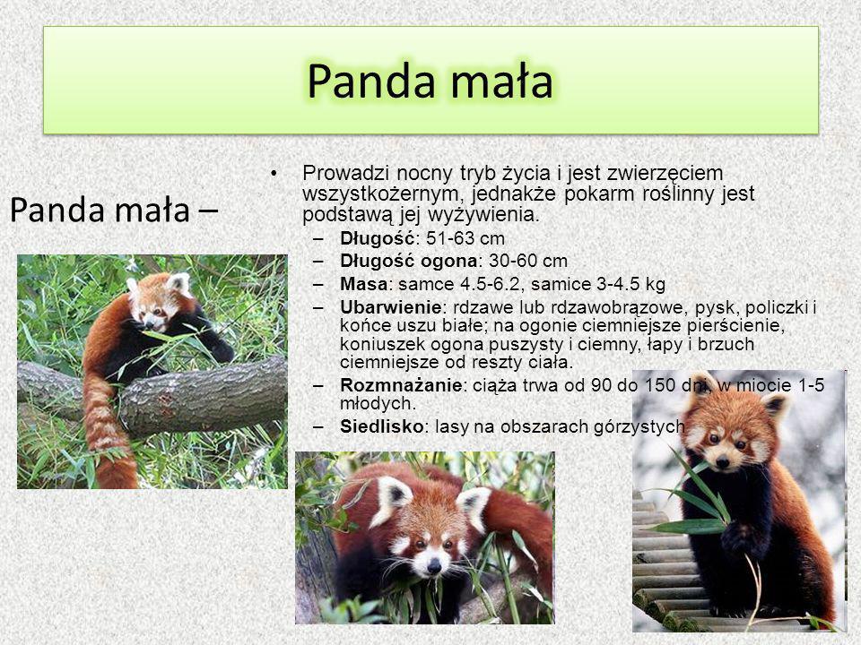 Panda mała – Prowadzi nocny tryb życia i jest zwierzęciem wszystkożernym, jednakże pokarm roślinny jest podstawą jej wyżywienia.