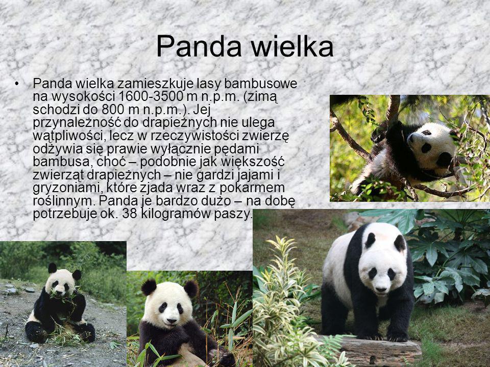 Panda mała – Prowadzi nocny tryb życia i jest zwierzęciem wszystkożernym, jednakże pokarm roślinny jest podstawą jej wyżywienia. –Długość: 51-63 cm –D