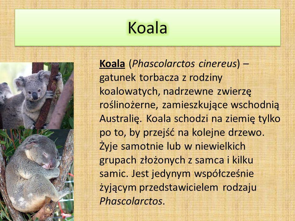 Koala (Phascolarctos cinereus) – gatunek torbacza z rodziny koalowatych, nadrzewne zwierzę roślinożerne, zamieszkujące wschodnią Australię.