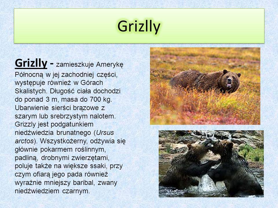 Grizlly - zamieszkuje Amerykę Północną w jej zachodniej części, występuje również w Górach Skalistych.
