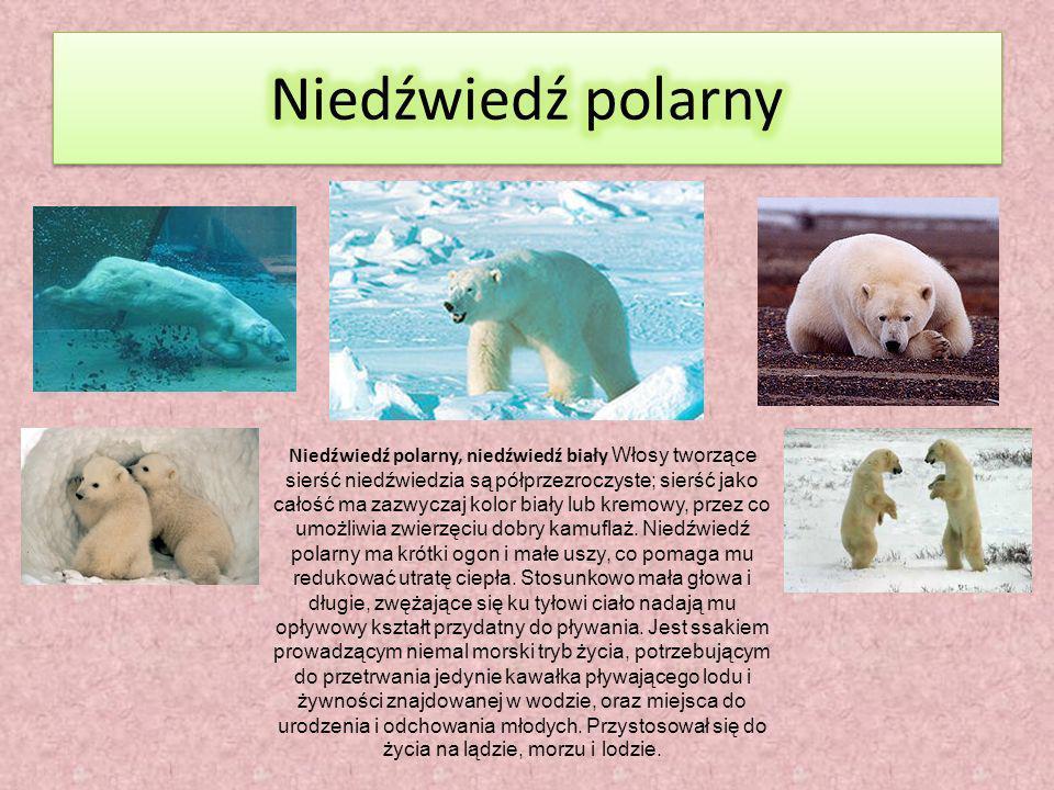 Niedźwiedź polarny, niedźwiedź biały Włosy tworzące sierść niedźwiedzia są półprzezroczyste; sierść jako całość ma zazwyczaj kolor biały lub kremowy, przez co umożliwia zwierzęciu dobry kamuflaż.