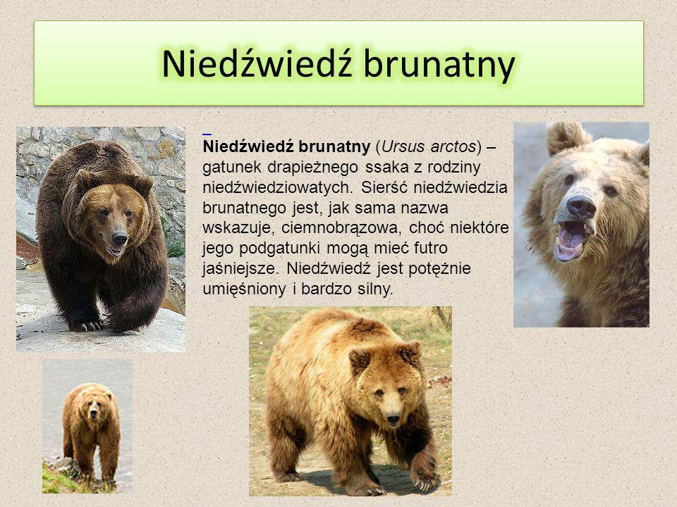 Niedźwiedź brunatny (Ursus arctos) – gatunek drapieżnego ssaka z rodziny niedźwiedziowatych.