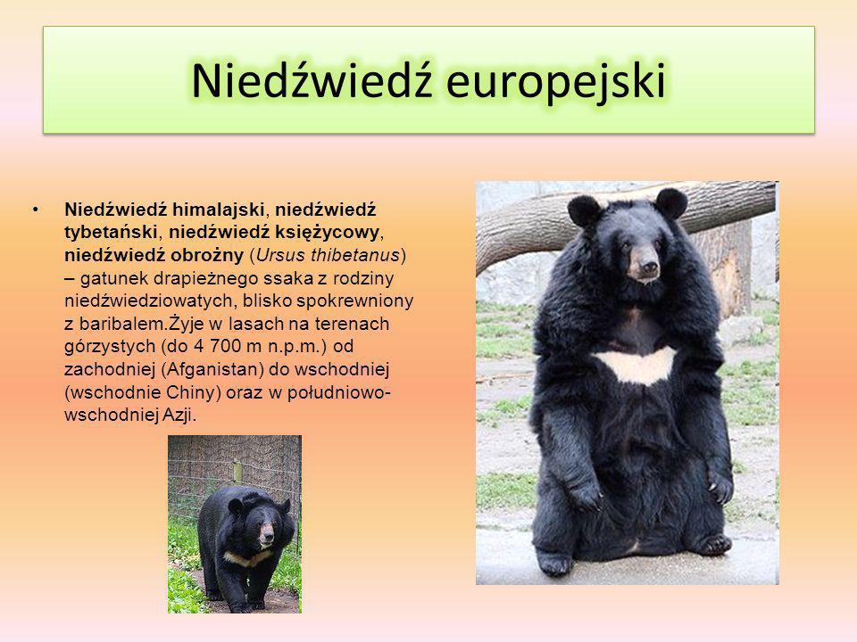 Niedźwiedź himalajski, niedźwiedź tybetański, niedźwiedź księżycowy, niedźwiedź obrożny (Ursus thibetanus) – gatunek drapieżnego ssaka z rodziny niedźwiedziowatych, blisko spokrewniony z baribalem.Żyje w lasach na terenach górzystych (do 4 700 m n.p.m.) od zachodniej (Afganistan) do wschodniej (wschodnie Chiny) oraz w południowo- wschodniej Azji.