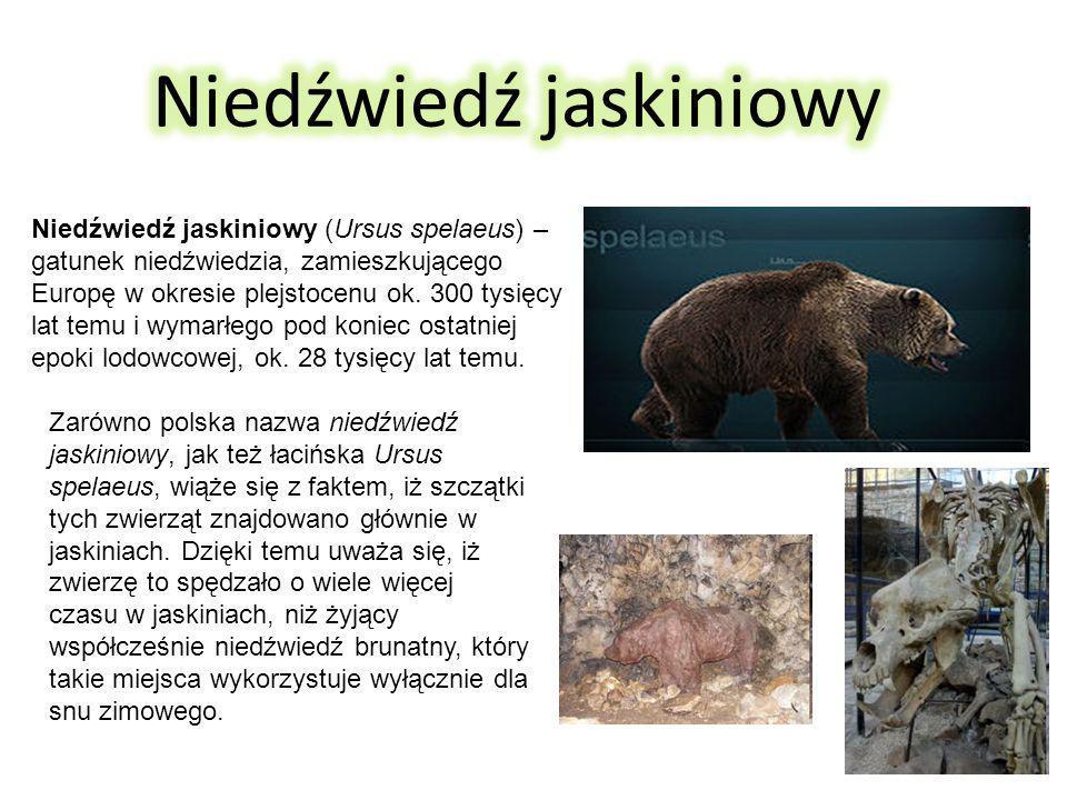 Niedźwiedź jaskiniowy (Ursus spelaeus) – gatunek niedźwiedzia, zamieszkującego Europę w okresie plejstocenu ok.