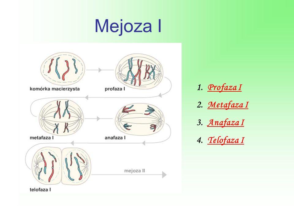 Mejoza I 1.Profaza IProfaza I 2.Metafaza IMetafaza I 3.Anafaza IAnafaza I 4.Telofaza ITelofaza I