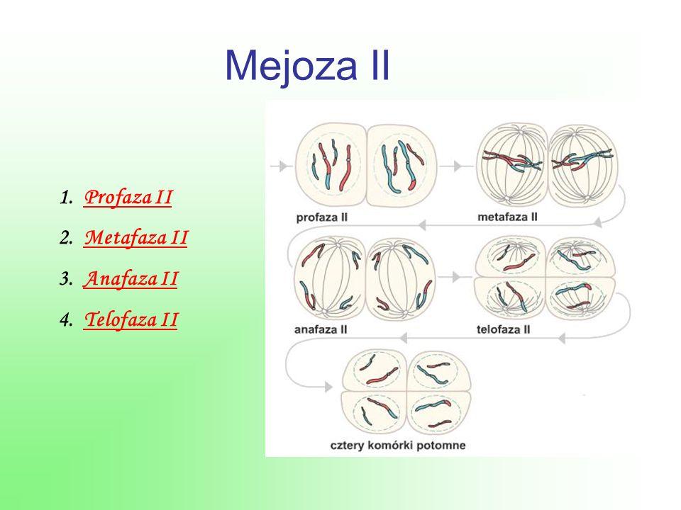 Mejoza II 1.Profaza IIProfaza II 2.Metafaza IIMetafaza II 3.Anafaza IIAnafaza II 4.Telofaza IITelofaza II