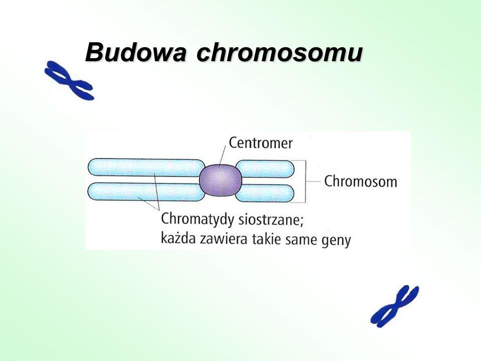 Budowa chromosomu