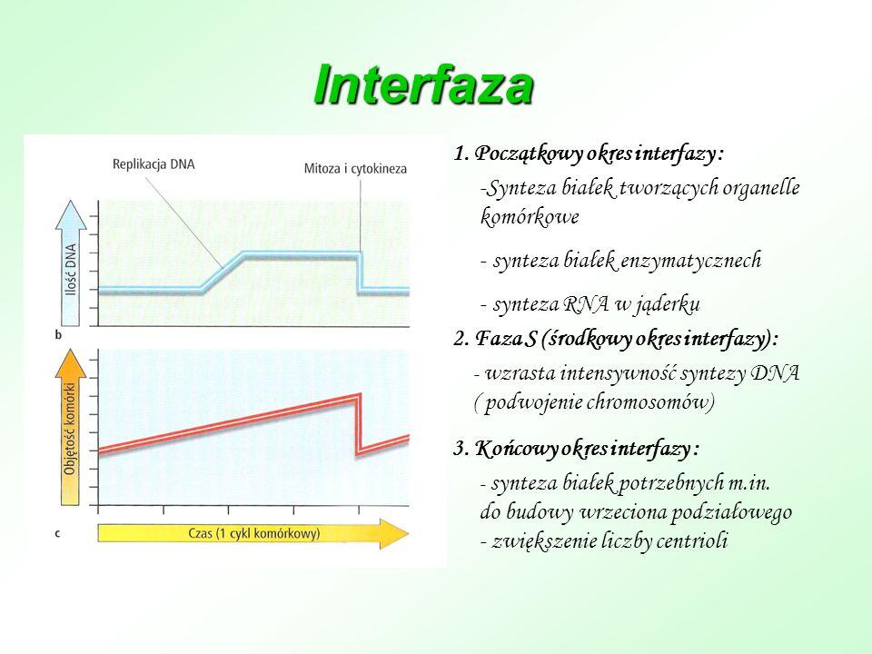 Interfaza -Synteza białek tworzących organelle komórkowe - synteza białek enzymatycznech - synteza RNA w jąderku 1. Początkowy okres interfazy : 2. Fa