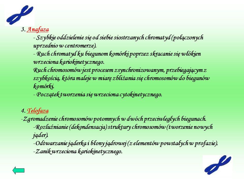 3. AnafazaAnafaza - Szybkie oddzielenie się od siebie siostrzanych chromatyd (połączonych uprzednio w centromerze). - Ruch chromatyd ku biegunom komór