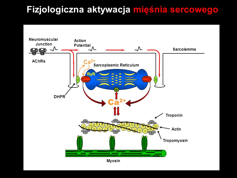 Fizjologiczna aktywacja mięśnia sercowego Ca 2+ Transverse Tubule Sarcolemma AChRs Neuromuscular Junction Troponin Tropomyosin Actin Myosin RyR DHPR Action Potential Sarcoplasmic Reticulum Ca 2+