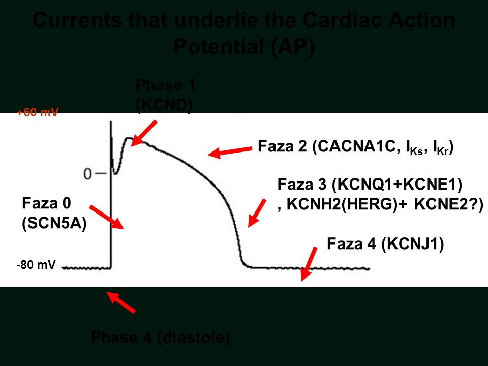 -80 mV +60 mV Faza 0 (SCN5A) Faza 2 (CACNA1C, I Ks, I Kr ) Phase 1 (KCND) Faza 4 (KCNJ1) Phase 4 (diastole) Faza 3 (KCNQ1+KCNE1), KCNH2(HERG)+ KCNE2?) Currents that underlie the Cardiac Action Potential (AP)