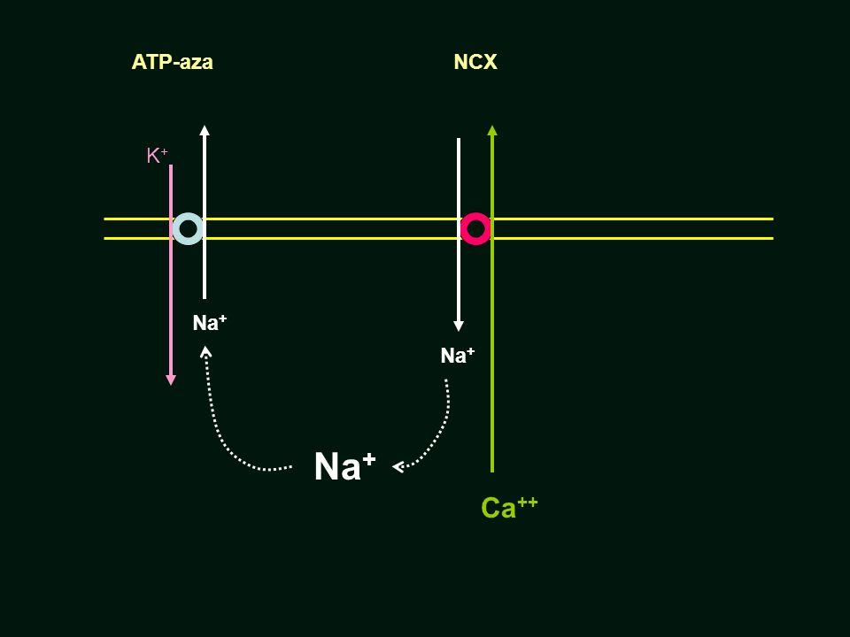 Na + K+K+ Ca ++ Na + NCXATP-aza