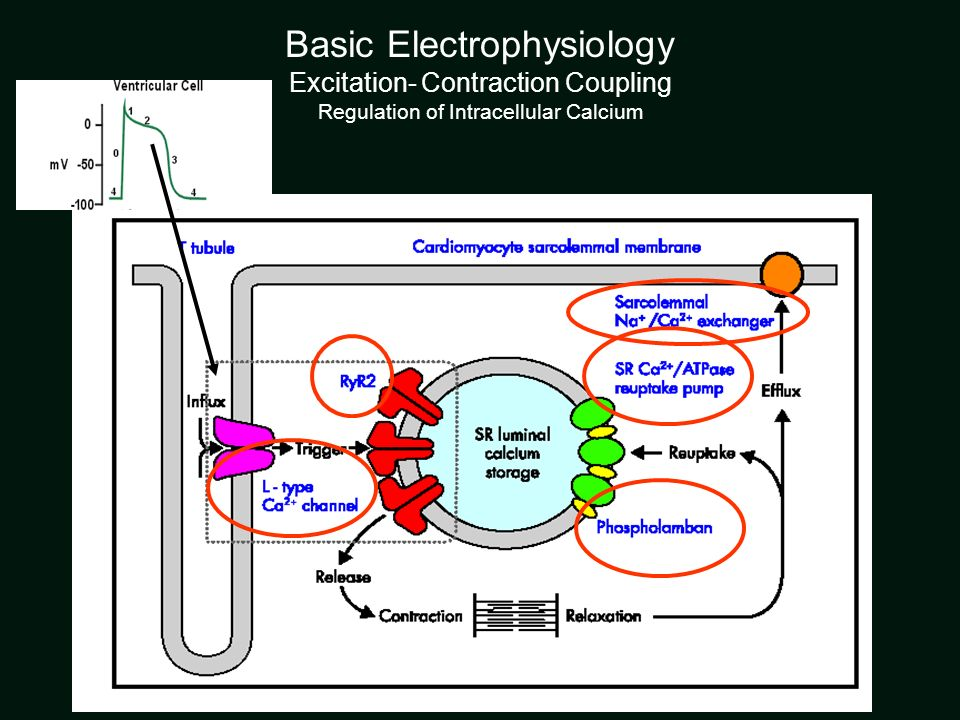 Basic Electrophysiology Excitation- Contraction Coupling Regulation of Intracellular Calcium