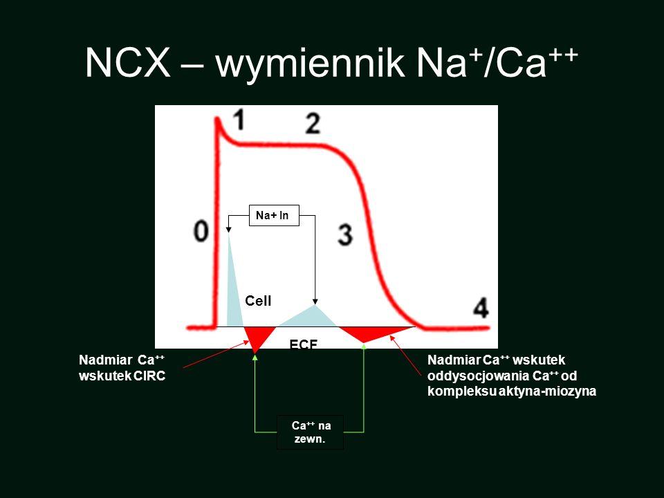 Ca ++ na zewn. Na+ In Cell ECF Nadmiar Ca ++ wskutek CIRC Nadmiar Ca ++ wskutek oddysocjowania Ca ++ od kompleksu aktyna-miozyna NCX – wymiennik Na +