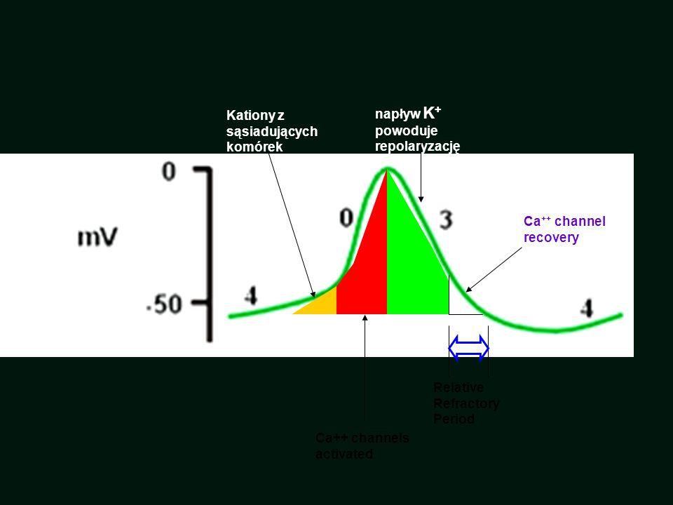 Kationy z sąsiadujących komórek Ca++ channels activated napływ K + powoduje repolaryzację Ca ++ channel recovery Relative Refractory Period