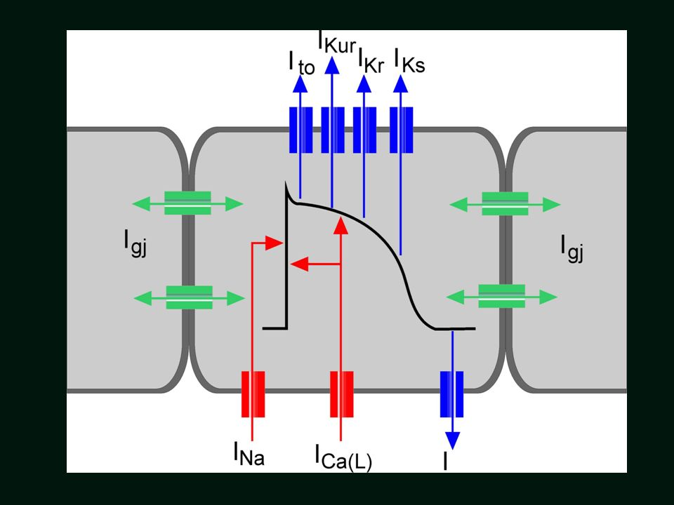 Contribution of Ion channels that underlie the cardiac AP Prądy hiperpolaryzujące lub repolaryzujące Prądy depolaryzujące