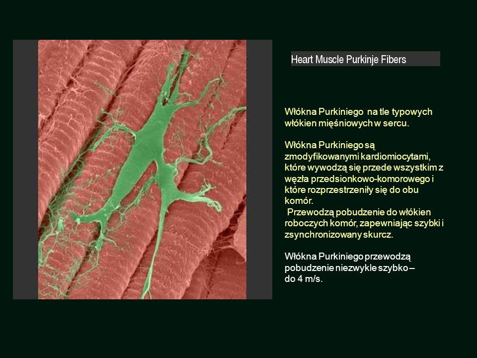 Włókna Purkiniego na tle typowych włókien mięśniowych w sercu. Włókna Purkiniego są zmodyfikowanymi kardiomiocytami, które wywodzą się przede wszystki