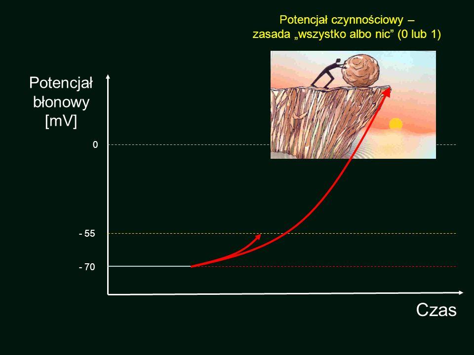 Potencjał czynnościowy komórek rozrusznikowych Faza 0 Faza 2 –b krótka, trudna do wyróżnienia Faza 3 Faza 4 Brak Fazy 1 4 0 3 2