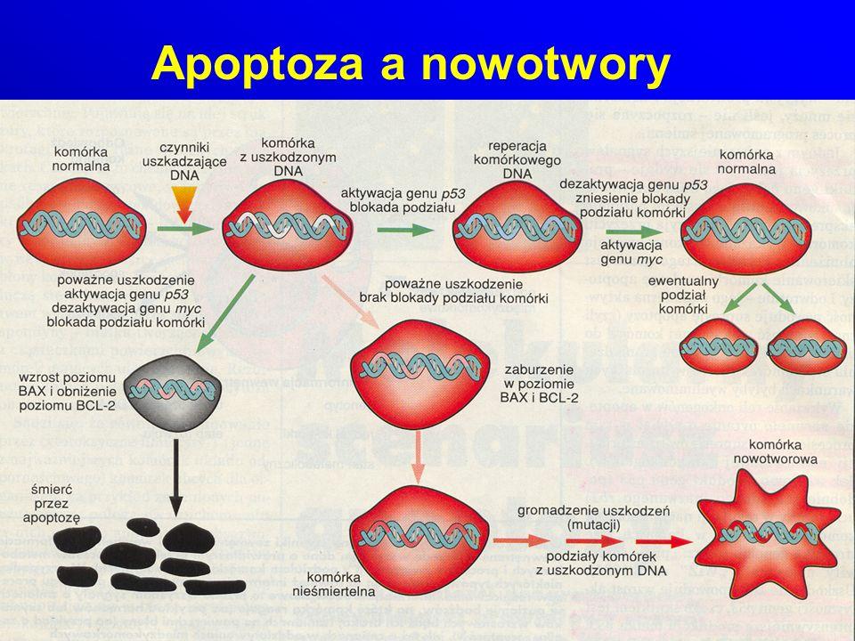 Apoptoza a nowotwory