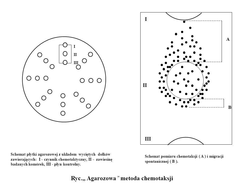 I II III Ryc. Agarozowa metoda chemotaksji Schemat płytki agarozowej z układem wyciętych dołków zawierających: I - czynnik chemotaktyczny, II - zawies