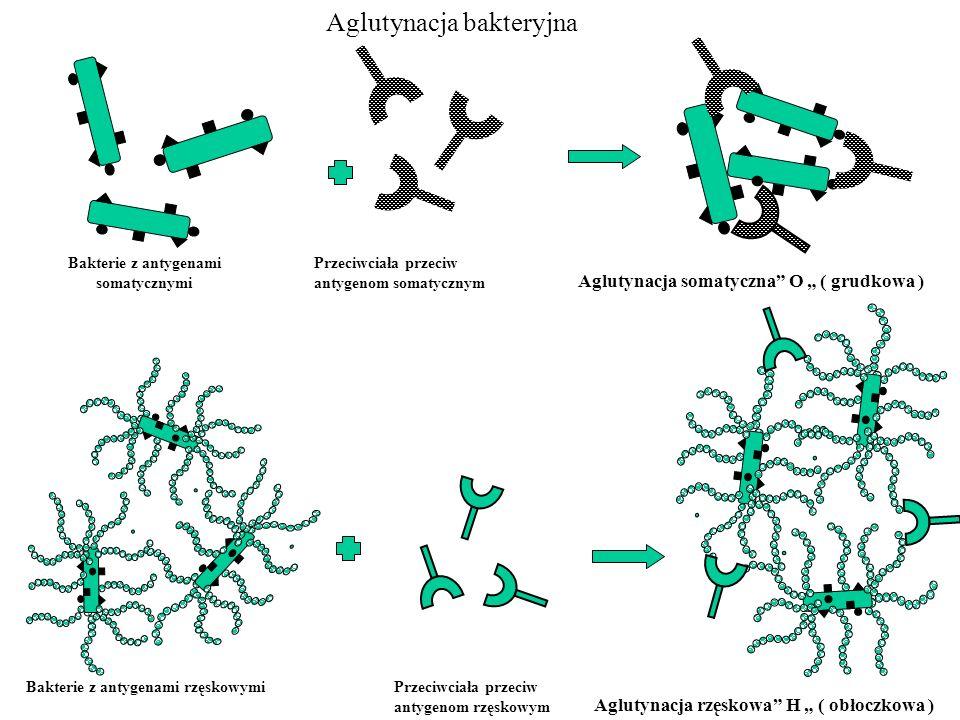 Bakterie z antygenami somatycznymi Przeciwciała przeciw antygenom somatycznym Aglutynacja somatyczna O ( grudkowa ) Bakterie z antygenami rzęskowymiPr